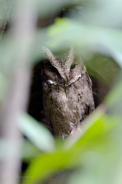 EVERETT'S SCOPS OWL <i>Otus everetti</i> Pasonanca, Zamboanga, Philippines