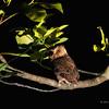 EVERETT'S SCOPS OWL <i>Otus everetti</i> Rajah Sikatuna Park, Bilar, Bohol