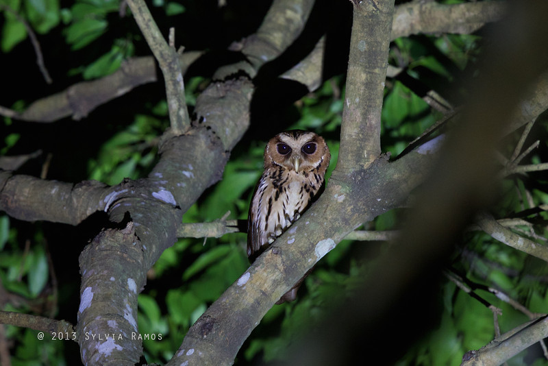 GIANT SCOPS OWL <i>Mimizuku guryeni</i> aka Mindanao Eagle-Owl Mapawa Nature Reserve, Malasag, Cagayan de Oro  We saw two individuals during our second visit to Mapawa. This one is a young owl.