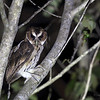 GIANT SCOPS OWL <i>Mimizuku guryeni</i> aka Mindanao Eagle-Owl Mapawa Nature Reserve, Malasag, Cagayan de Oro