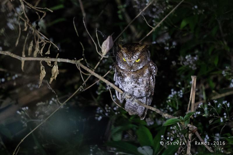 LUZON SCOPS OWL