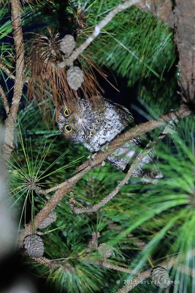 LUZON SCOPS OWL <i>Otus longicornis</i> Bessang Pass, Ilocos Sur