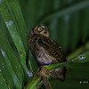 MANTANANI SCOPS OWL