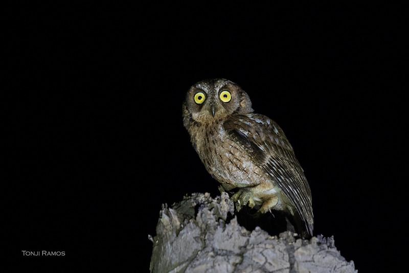 MANTANANI SCOPS OWL <i>Otus mantananensis</i> Tablas Island, Romblon