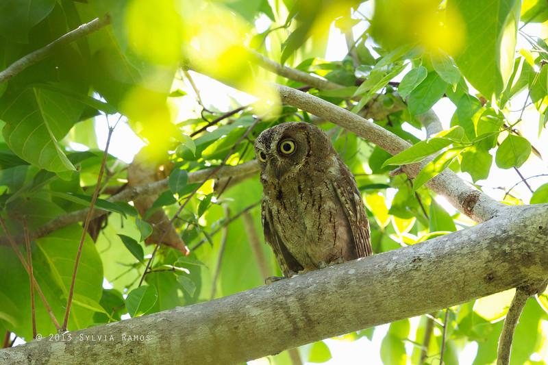 MANTANANI SCOPS OWL <i>Otus mantananensis</i> Pandan Island, Palawan