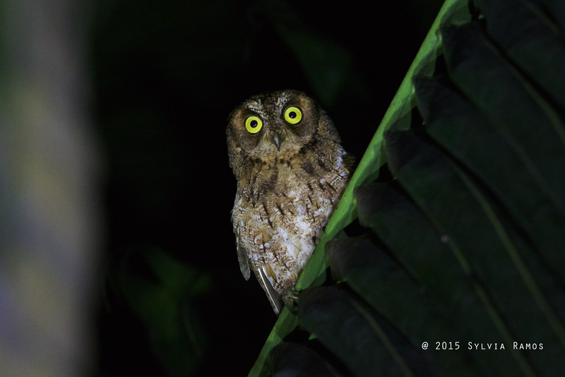 MANTANANI SCOPS OWL