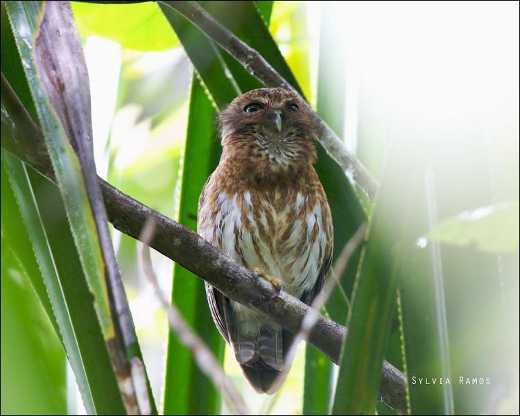 MINDANAO HAWK-OWL <i>Ninox spilocephala</i> PICOP, Bislig, Surigao del Sur  Action shot of the owl calling.
