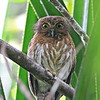 MINDANAO HAWK-OWL <i>Ninox spilocephala</i> PICOP, Bislig, Surigao del Sur