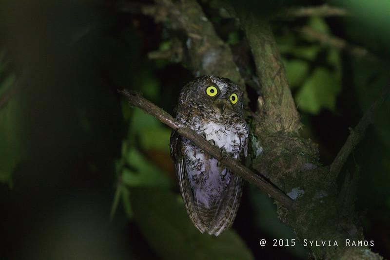 MINDANAO SCOPS OWL