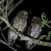 LUZON HAWK-OWL Negros race <i>centralis</i> <i>Ninox philippensis</i> Valencia, Negros,  Philippines