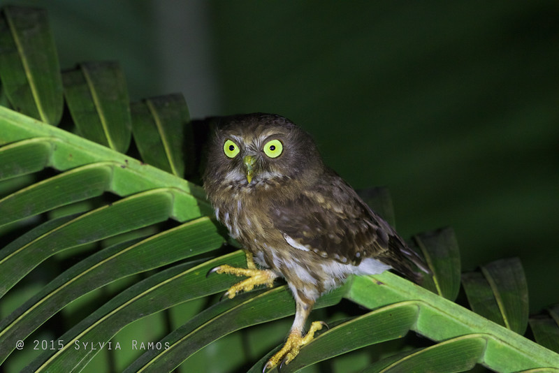 LUZON HAWK-OWL