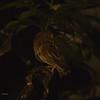 LUZON HAWK-OWL Luzon race <i>philippensis</i> <i>Ninox philippensis</i> Los Banos, Laguna, Philippines