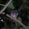 PALAWAN SCOPS OWL <i>Otus fuliginosus</i>  Sabang, Palawan, Philippines