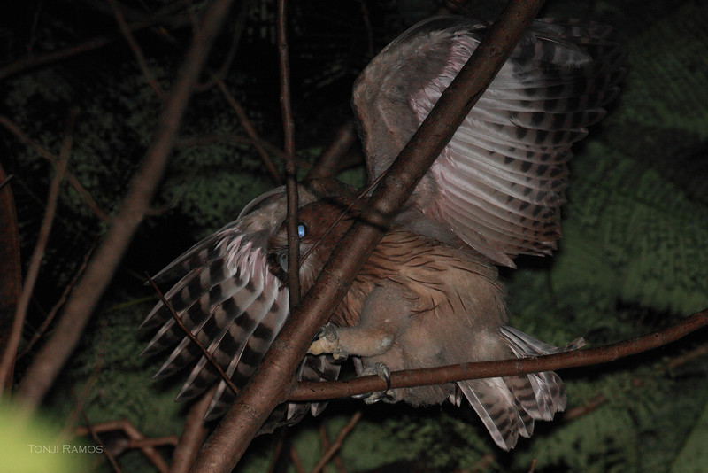 PHILIPPINE EAGLE OWL, immature <i>Bubo philippensis</i> Balara Compound, Quezon City  The immature bird spread its wings as it was shifting position on the branch. It was chewing on the little branch for some time.