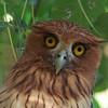 PHILIPPINE EAGLE OWL, immature <i>Bubo philippensis</i> Angono, Rizal, Philippines