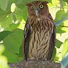 PHILIPPINE EAGLE OWL <i>Bubo philippensis</i> Angono, Rizal, Philippines