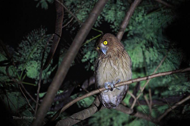 PHILIPPINE EAGLE OWL, immature <i>Bubo philippensis</i> Balara Compound, Quezon City