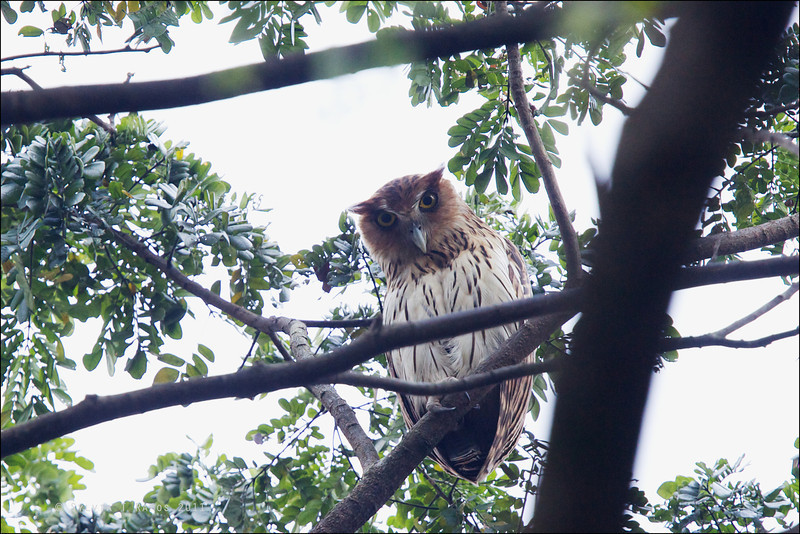 PHILIPPINE EAGLE OWL, female <i>Bubo philippensis</i> Balara Compound, Quezon City