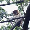 PHILIPPINE EAGLE OWL, female <i>Bubo philippensis</i> Balara Compound, Quezon City