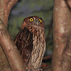 PHILIPPINE EAGLE OWL, male <i>Bubo philippensis</i> Balara Compound, Quezon City