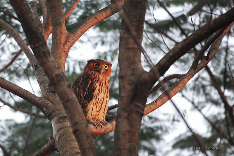 PHILIPPINE EAGLE OWL, male <i>Bubo philippensis</i> Balara Compound, Quezon City