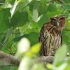 PHILIPPINE EAGLE OWL, male <i>Bubo philippensis</i> Angono, Rizal, Philippines