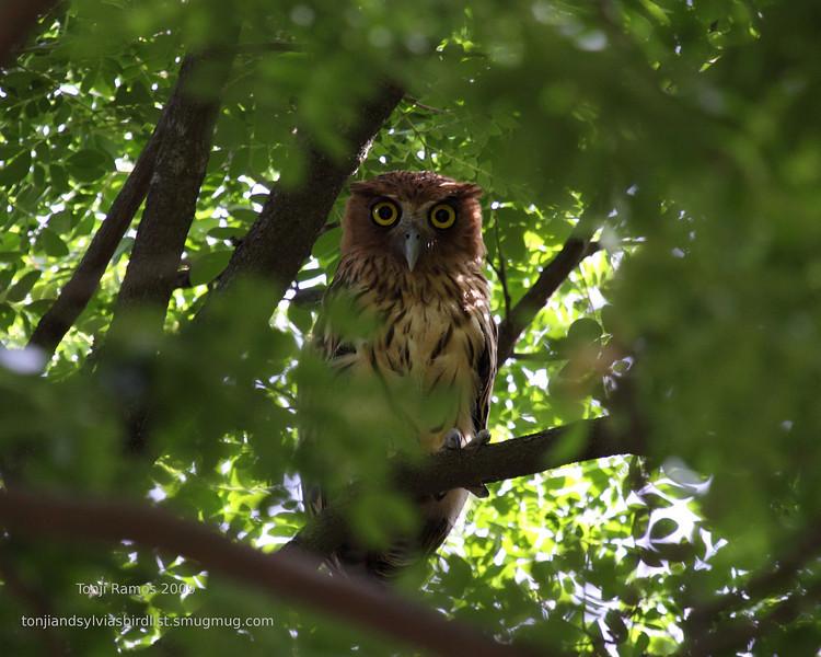 PHILIPPINE EAGLE OWL <i>Bubo philippensis</i> Sierra Madre, Nueva Ecija