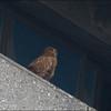 PHILIPPINE EAGLE OWL, immature <i>Bubo philippensis</i> Balara Compound, Quezon City