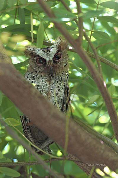 PHILIPPINE SCOPS OWL, immature <i>Otus megalotis</i> Los Banos, Laguna, Philippines