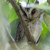 PHILIPPINE SCOPS OWL <i>Otus megalotis</i> Los Banos, Laguna, Philippines