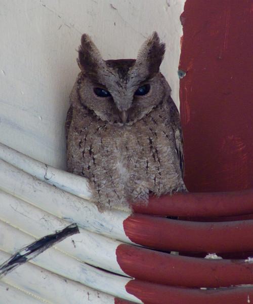 PHILIPPINE SCOPS OWL <i>Otus megalotis</i> UP, Diliman, Philippines  squinting