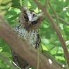 PHILIPPINE SCOPS OWL, immature <i>Otus megalotis</i> Los Banos, Philippines