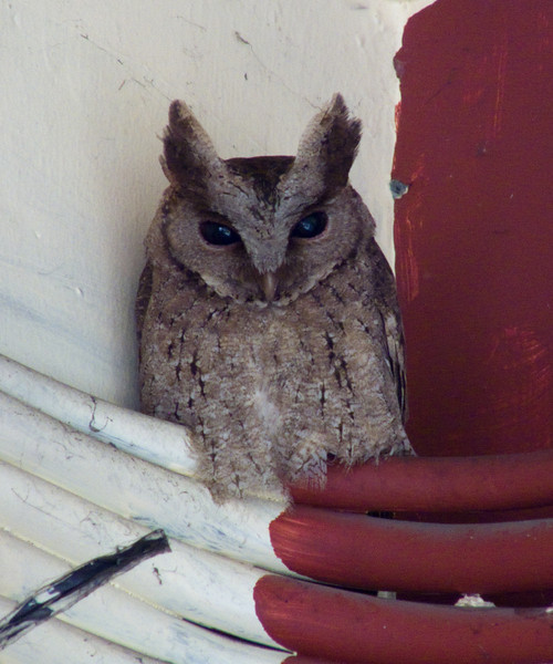 PHILIPPINE SCOPS OWL <i>Otus megalotis</i> UP, Diliman, Philippines  eyes wide open