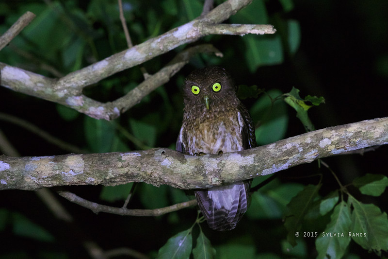 ROMBLON HAWK-OWL