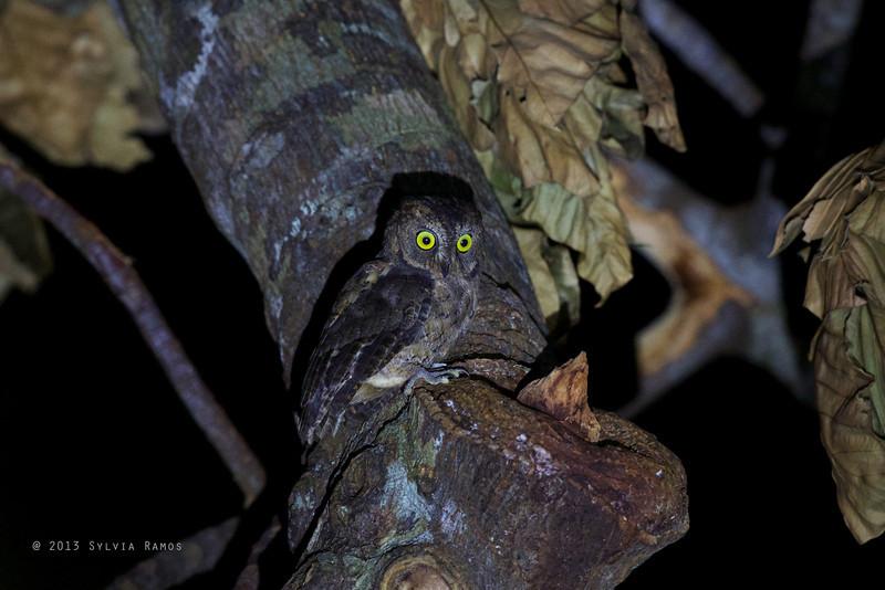 RYUKYU SCOPS OWL <i>Otus elegans</i> Basco, Batan, Batanes