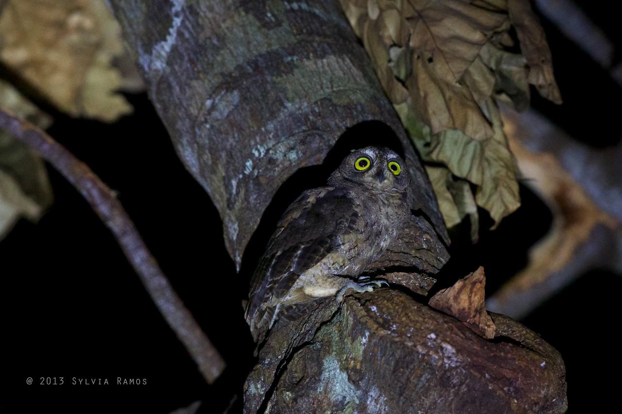 RYUKYU SCOPS OWL <i>Otus elegans</i> Basco, Batan, Batanes  There's something big and brown on the owl's face, to the left of the beak.
