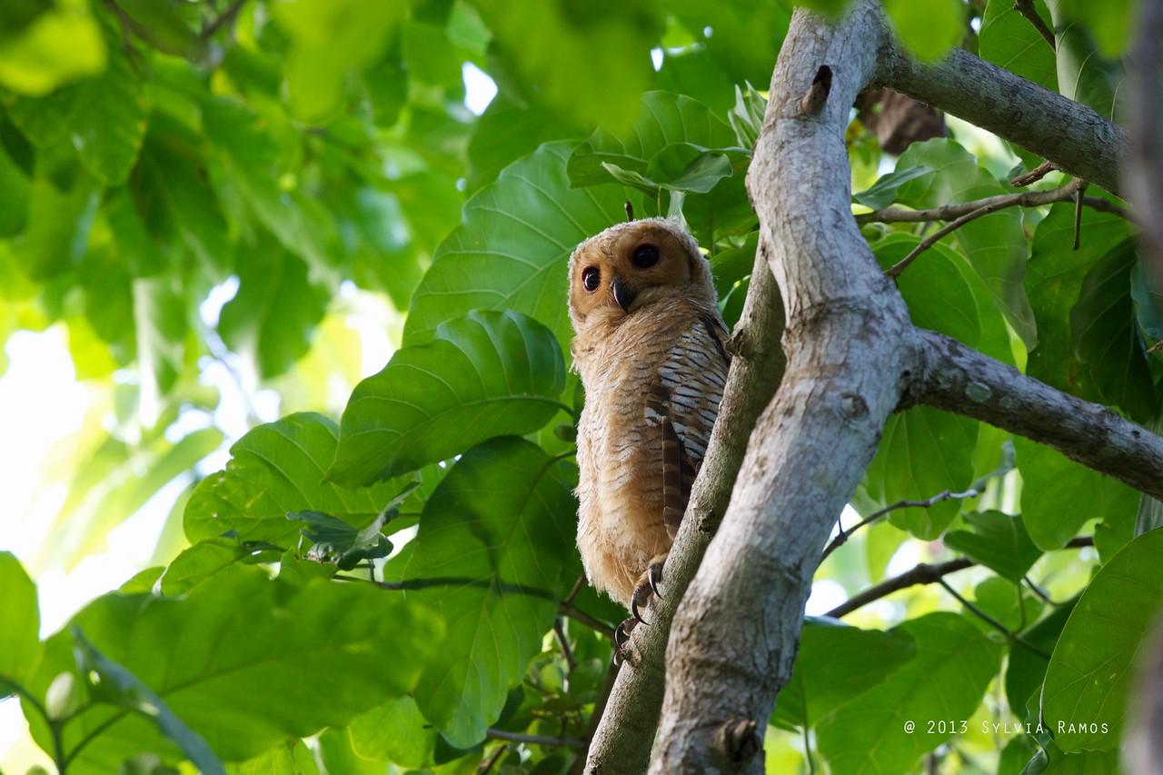 SPOTTED WOOD OWL, immature <i>Strix seloputo</i> Puerto Princesa, Palawan