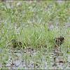 GREATER PAINTED-SNIPE <i>Rostratula benghalensis</i> Candaba, Pampanga, Philippines  eye closed