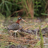 GREATER PAINTED-SNIPE, female <i>Rostratula benghalensis</i> Los Banos, Laguna, Philippines
