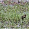 GREATER PAINTED-SNIPE <i>Rostratula benghalensis</i> Candaba, Pampanga, Philippines