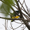 """BLUE-CROWNED RACQUET-TAIL <i>Prioniturus discurus</i> PICOP, Bislig, Surigao del Sur  you can see the """"racquet"""" in this photo"""