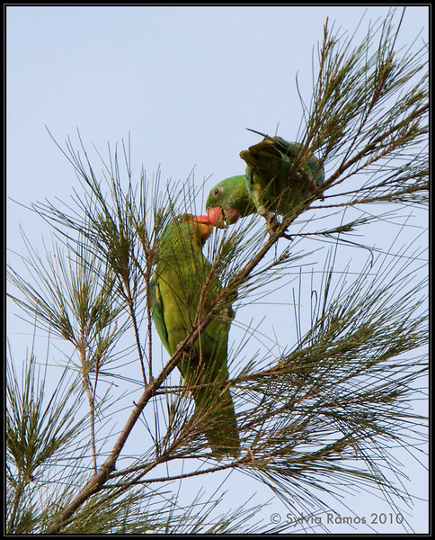 BLUE NAPED PARROT <i>Tanygnathus lucionensis</i> Subic, Zambales, Philippines