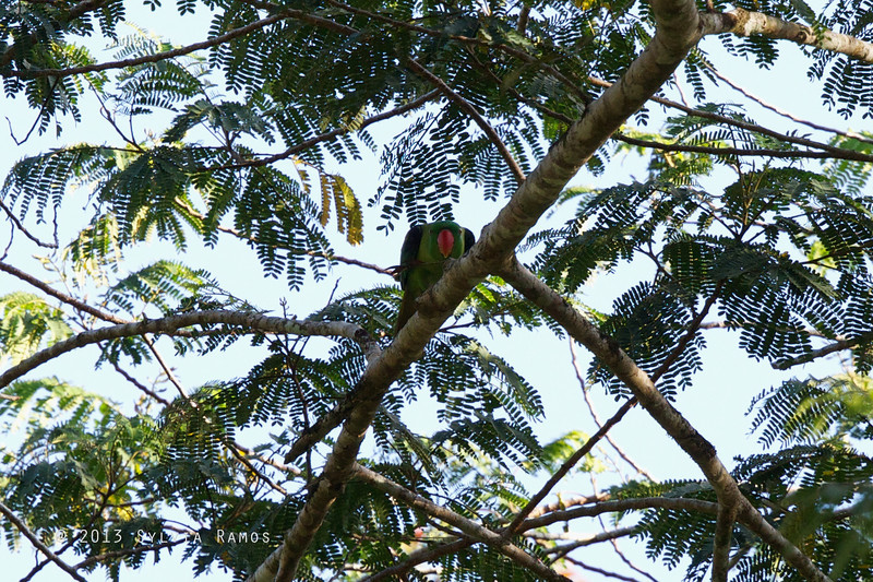 BLUE NAPED PARROT <i>Tanygnathus lucionensis</i> Puerto Princesa, Palawan, Philippines