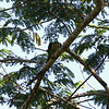BLUE NAPED PARROT <i>Tanygnathus lucionensis</i> Puerto Princesa, Palawan, Philippines