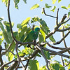 BLUE-HEADED RACQUET-TAIL <i>Prioniturus platenae</i> Sabang, Palawan, Philippines
