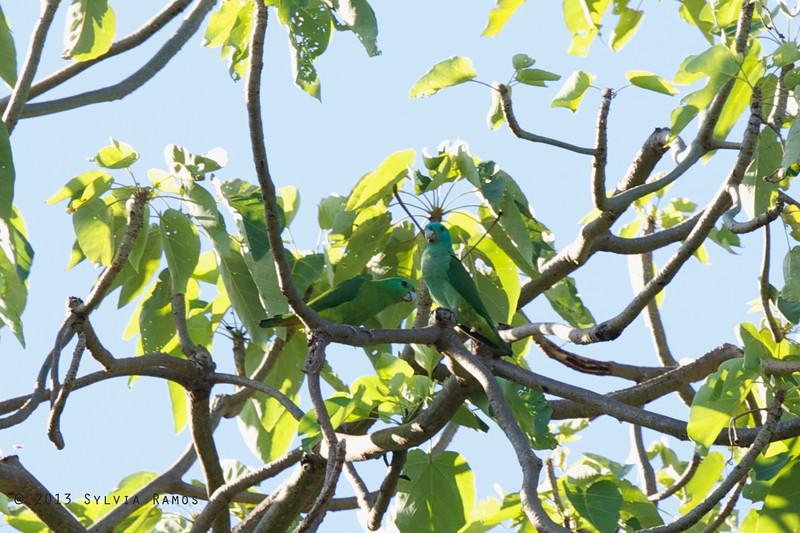 BLUE-HEADED RACQUET-TAIL <i>Prioniturus platenae</i> Sabang, Palawan, Philippines