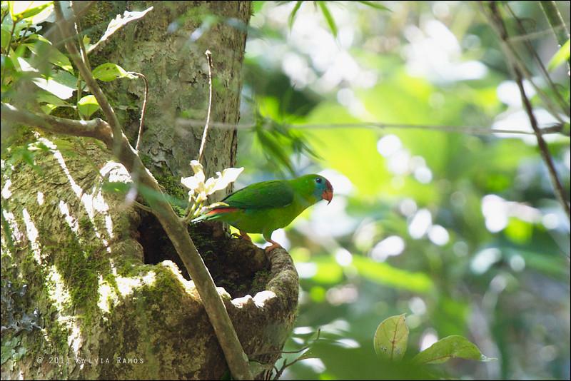 PHILIPPINE HANGING PARROT aka COLASISI <i>Loriculus philippensis</i> Sierra Madre, Luzon, Philippines