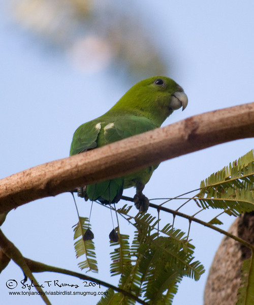 GREEN RACQUET-TAIL <i>Prionitrurus luconensis</i> Subic, Zambales, Philippines