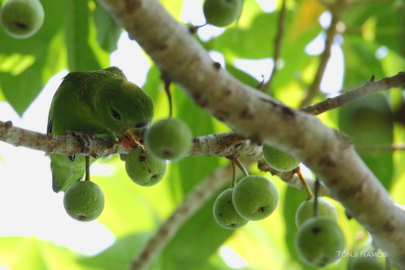 GUAIABERO  <i>Bolpopsittacus lunulatus</i> Mt. Palay Palay, Cavite, Philippines