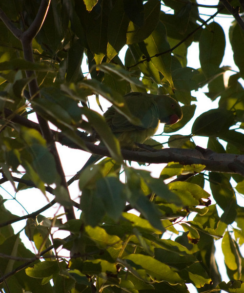 ROSE-RINGED PARAKEET <i>Psittacula krameri (manillensis?)</i> Alabang, Muntinlupa, Philippines  Can you see me?